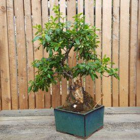 lance-nutt-firethorn