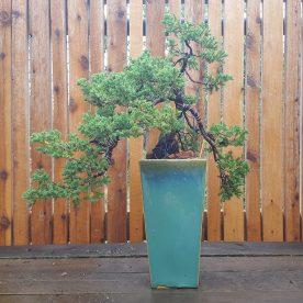 lance-nutt-needle-juniper