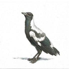 Baby Magpie No 2 - Copy