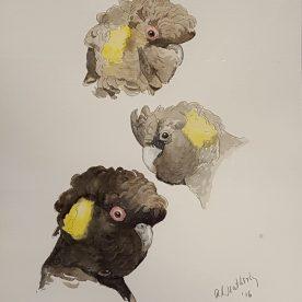 Richard Weatherly Black Cockatoo Study