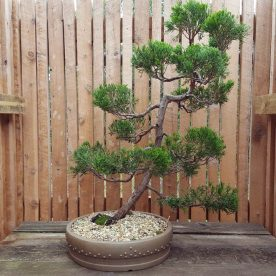 lance-nutt-chinese-juniper-2