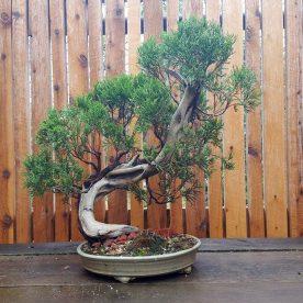 lance-nutt-chinese-juniper