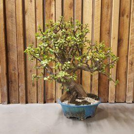 Lance Nutt Jade Tree & handmade pot