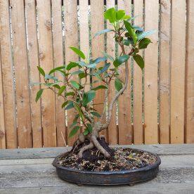 lance-nutt-port-jackson-fig