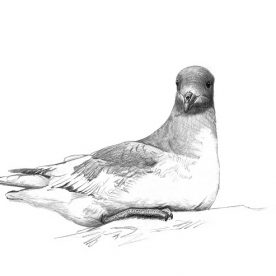 Richard Weatherly Antarctic Petrel Pencil on paper 21 x 30cm Framed $350 p235 SOLD
