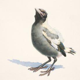 Richard Weatherly Baby Magpie No. 3 Print 22 x 30cm Framed $150 p83