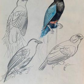 Richard Weatherly Blue Bird of Paradise Pencil with wash 25 x 20cm Framed $1,200