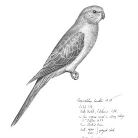 Richard Weatherly Bourke's Parrot Pencil on paper 25 x 20cm Framed $350 p139 SOLD