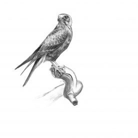 Richard Weatherly Brown Falcon Pencil on paper 15 x 21cm p109  SOLD