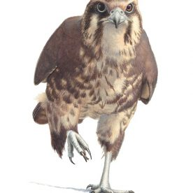 Richard Weatherly Brown Falcon Shinshu Gouache on paper 21 x 30cm Framed $1,350 p39 SOLD