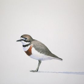 Richard Weatherly Double-banded Plover Watercolour on paper 21 x 30cm Framed $1,350 p71