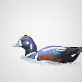 Richard Weatherly Harlequin Duck Gouache on paper 21 x 30cm Framed $1,350