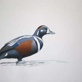 Richard Weatherly Harlequin Duck Gouache on paper 21 x 30cm Framed $1,350 p186