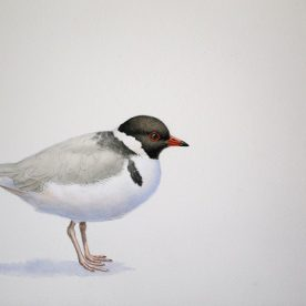Richard Weatherly Hooded Plover Watercolour on paper 21 x 30cm Framed $1,450 p66 SOLD