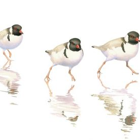 Richard Weatherly Hooded Plovers Watercolour on paper 21 x 30cm Framed $1,450 p268 & Title SOLD