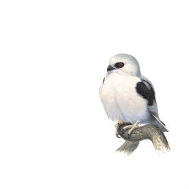 Richard Weatherly Letter-winged Kite Gouache on paper 21 x 30cm Framed $1,350 p61