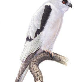 Richard Weatherly Female Letter-winged Kite Gouache on paper 21 x 30cm Framed $1,400 p60 SOLD