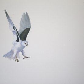 Richard Weatherly Letterwinged Kite Landing Gouache on paper 21 x 30cm Framed $850