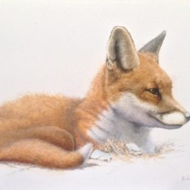 Richard Weatherly Little Red Fox Watercolour & Gouache NFS on loan from private collector p88