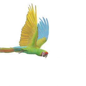 Richard Weatherly Military Macaw Gouache on Paper 21 x 30cm framed $1,150 p194