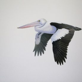 Richard Weatherly Pelican Flying Gouache on paper 21 x 30cm $1,350 SOLD