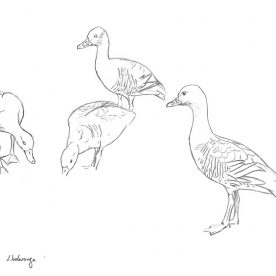 Richard Weatherly Plumed Whistling Duck Pencil on paper 20 x 25cm Framed $300 p5