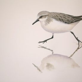 Richard Weatherly Red-necked Stint Gouache on paper 21 x 30cm $1,350 p272 SOLD
