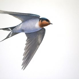 Richard Weatherly Welcome Swallow 1 Gouache on paper 21 x 30cm Framed $1,250 p250