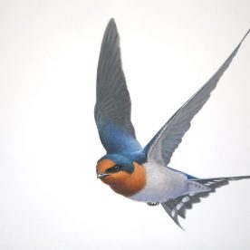 Richard Weatherly Welcome Swallow 4 Gouache on paper 21 x 30cm Framed $1,250 p250 SOLD