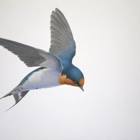 Richard Weatherly Welcome Swallow 2 Gouache on paper 21 x 30cm Framed $1,250 p251 SOLD