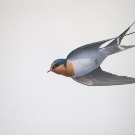 Richard Weatherly Welcome Swallow 5 Gouache on paper 21 x 30cm Framed $1,250 p251