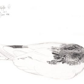 Richard Weatherly Spotted Nightjar Pencil on paper 22 x 30cm $400 Framed p121 SOLD
